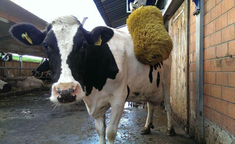 Happiest Swiss Cow