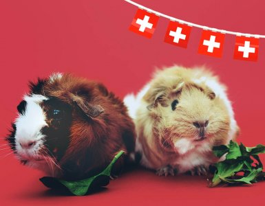 Swiss Laws - Two Guinea Pigs