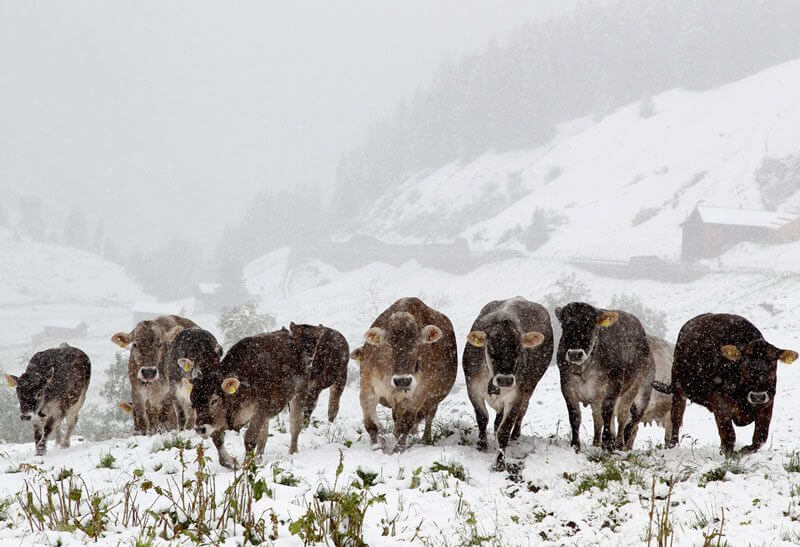 Cows in the Snow, Tschuggen, Switzerland