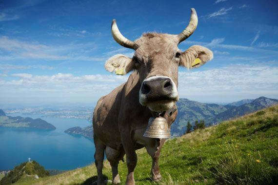 Swiss Cow Fiona