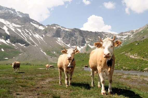 Swiss Cows with Horns