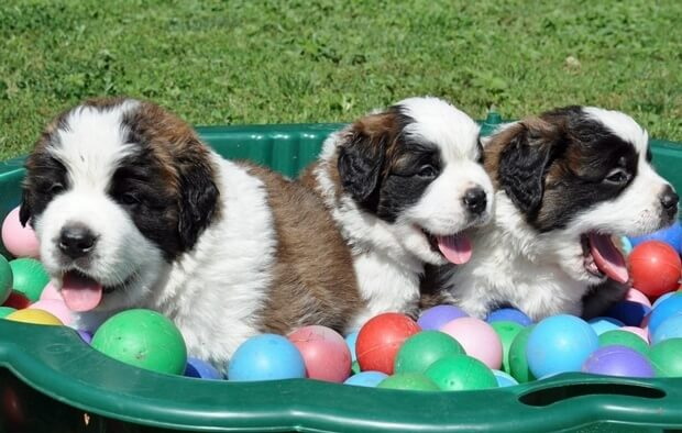St. Bernard Puppies in Martigny 2012