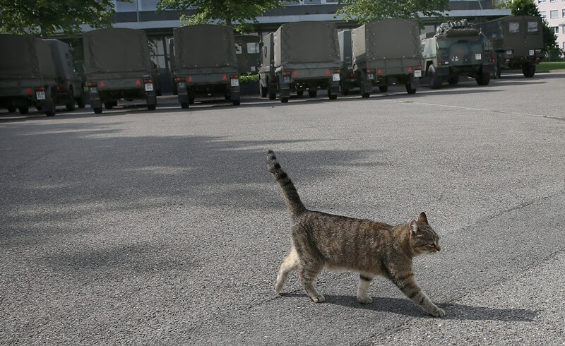 Swiss Army Cat