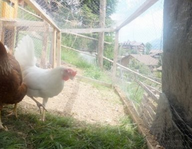 Keeping Chickens in Switzerland