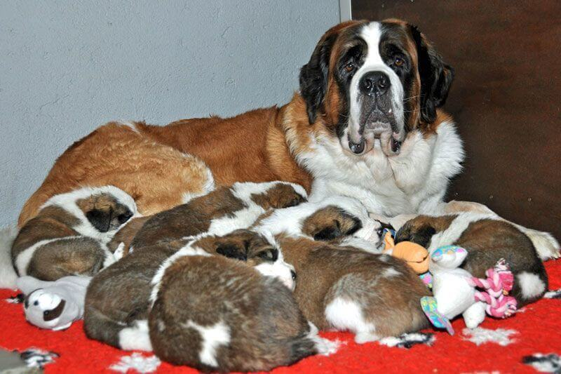 St. Bernard Puppies at Fondation Barry, Martigny