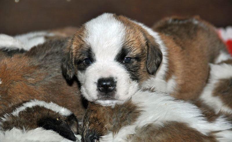Cuteness Alert: St Bernard Puppies at Fondation Barry - Newly Swissed