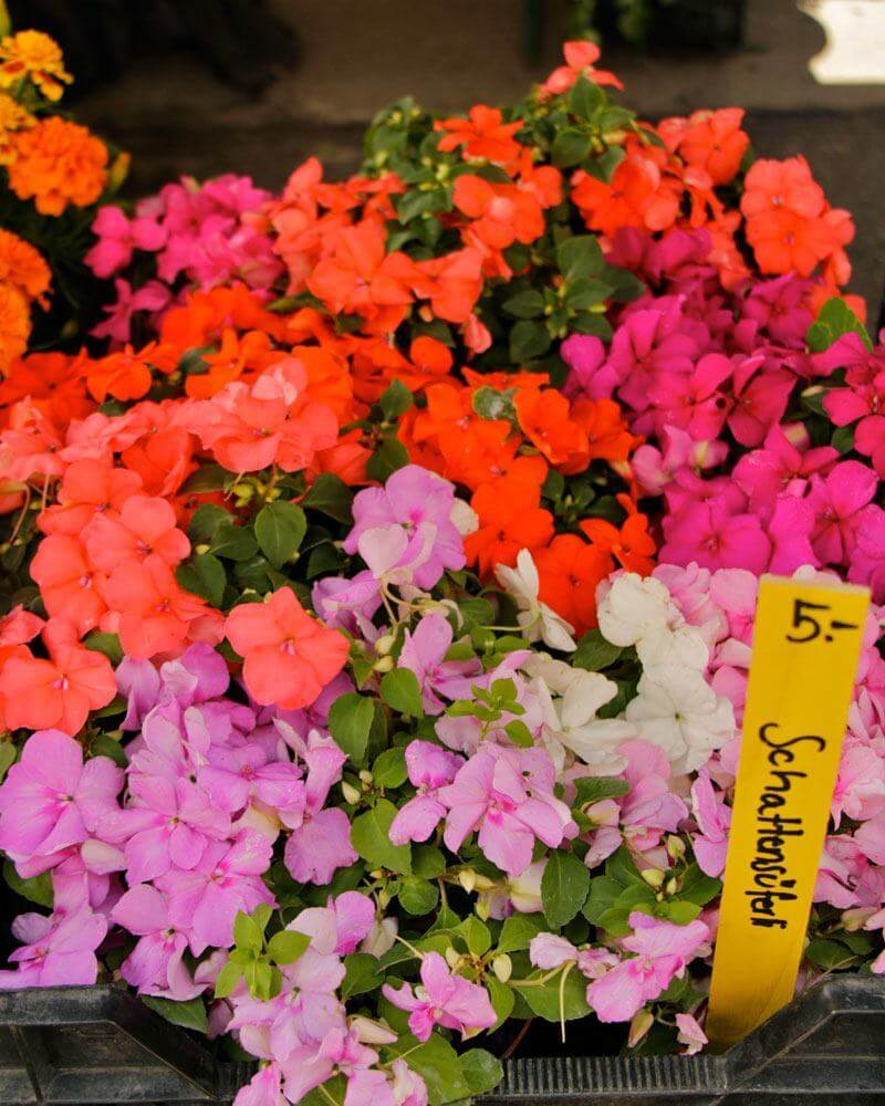 Flowers For Container Gardening   Impatiens
