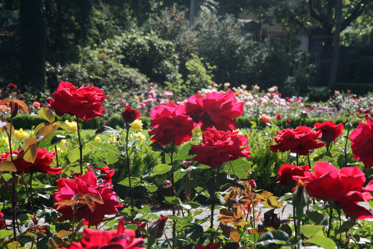 Rosengarten in Bern, Switzerland