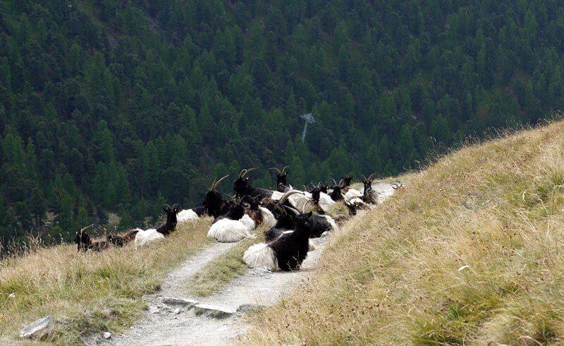 Swiss Valais - Goats from Valais Wallis