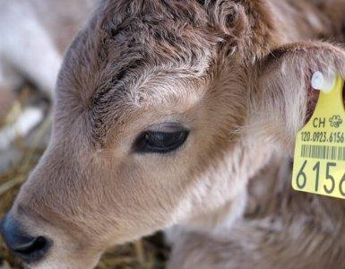 Olma Fair - Cattle Show