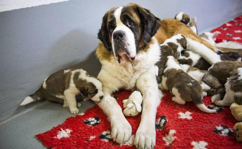 St. Bernards Litter of 12 - March 7, 2014