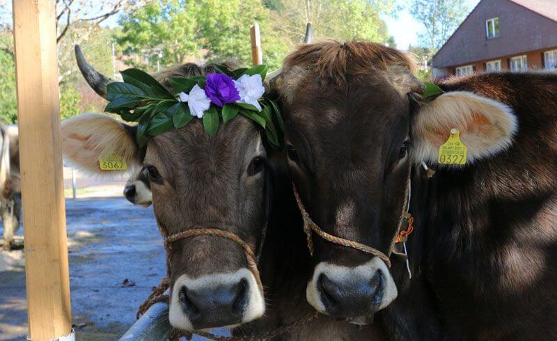 Swiss Mik Cows