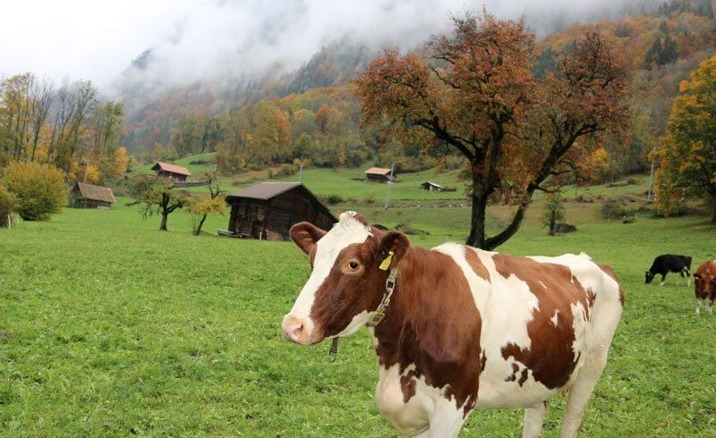 Grindelwald Cow