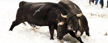 Swiss Cow Fighting - Leukerbad