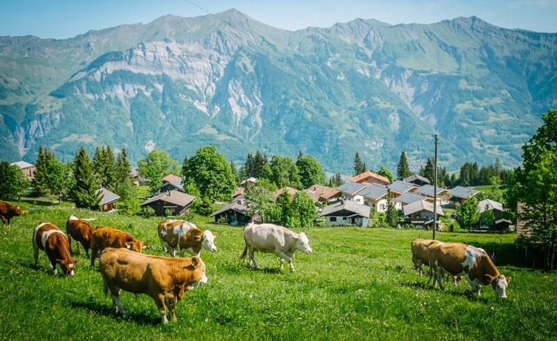 Swiss cows grazing on green pasture