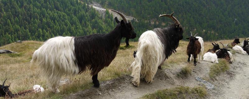 Zermatt Goat Parade