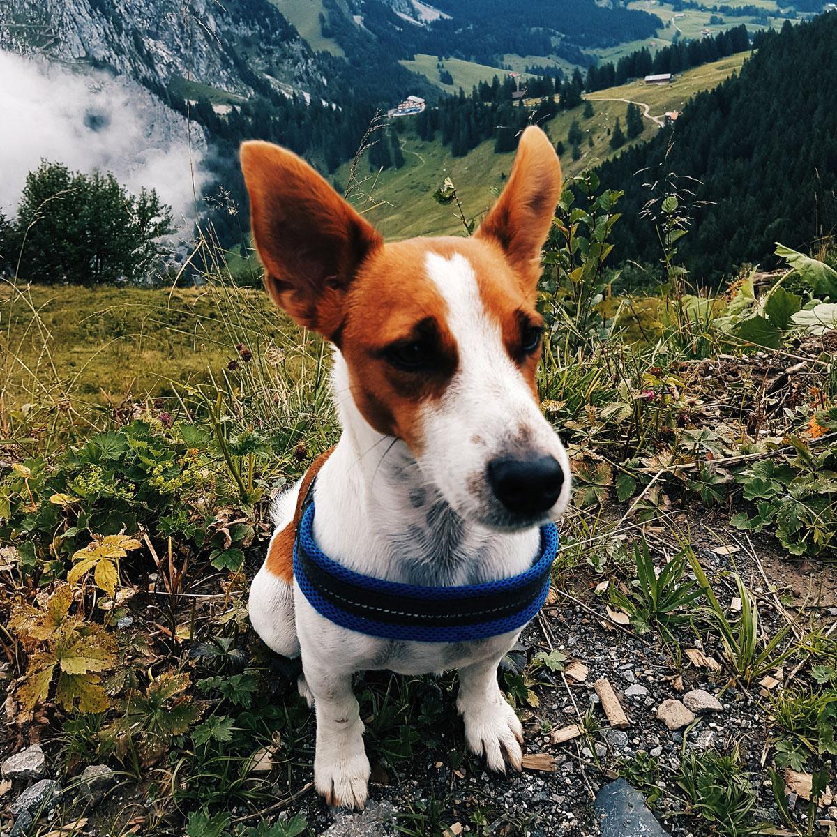 Happy Swiss Dog