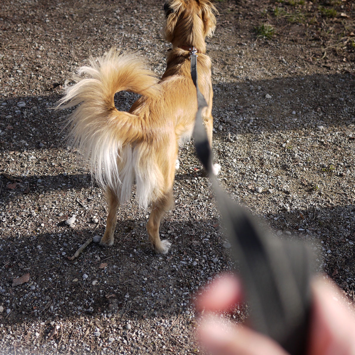 Swiss Dog on a Leash