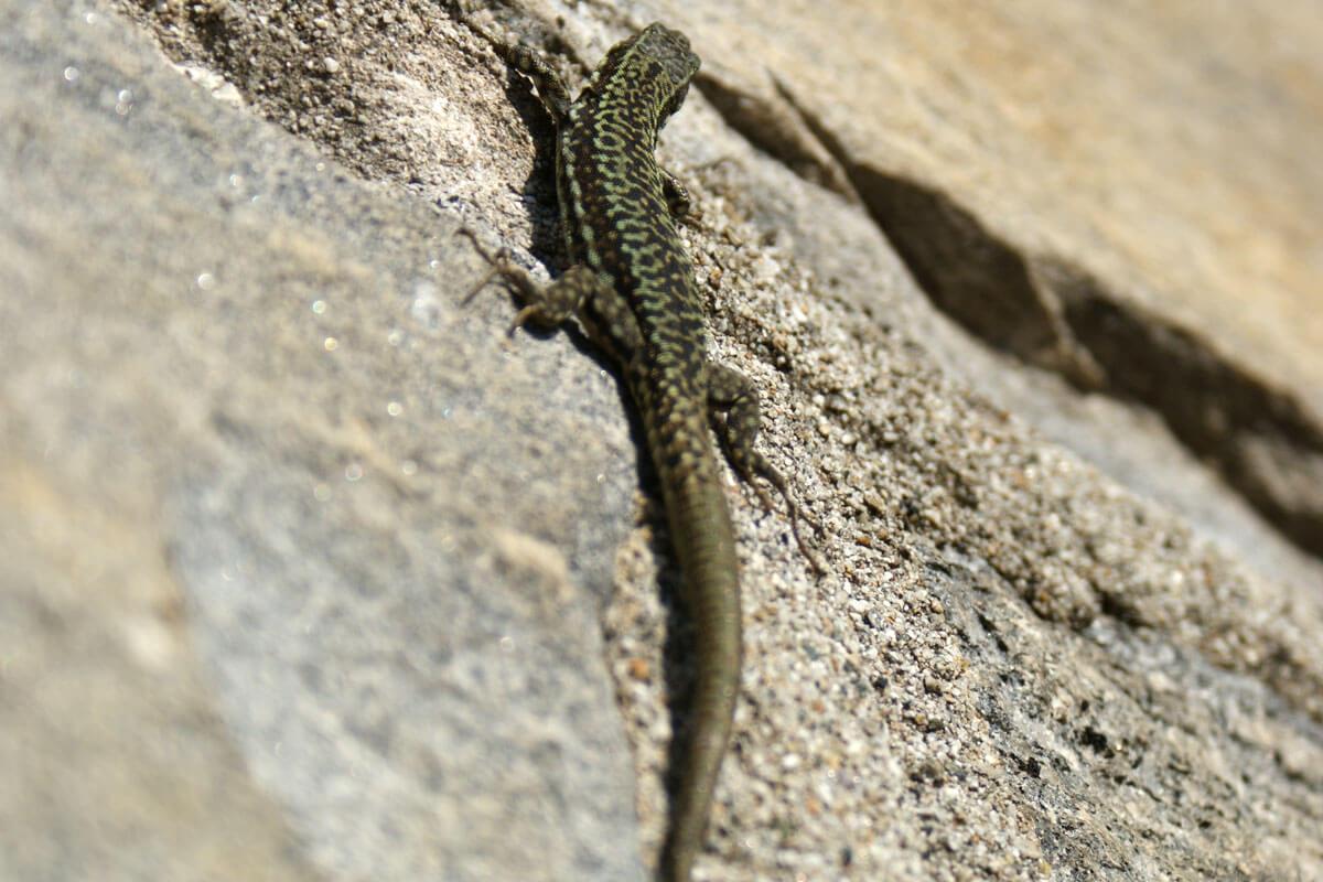 Lizard in Ticino