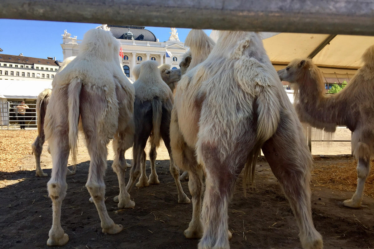 Circus Knie - Cheeky camels' back