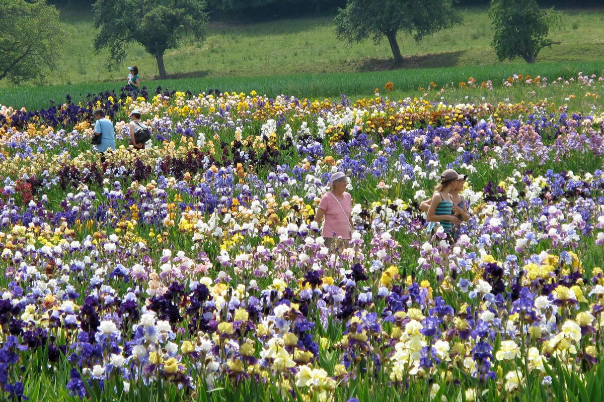Iris Festival Morges