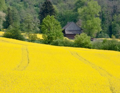 Rapeseed Field Wettingen