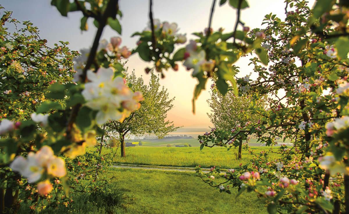 Thurgau Apple Orchard - Copyright Thurgau Tourism