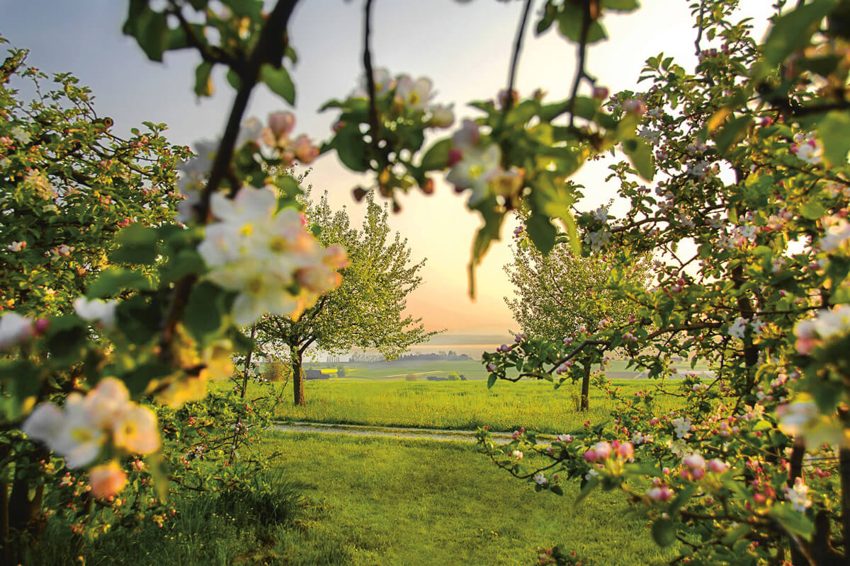 Thurgau Apple Orchard - Copyright Thurgau Tourism