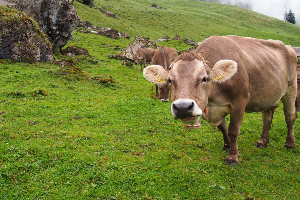Cow at Musenalp in Isenthal, Switzerland