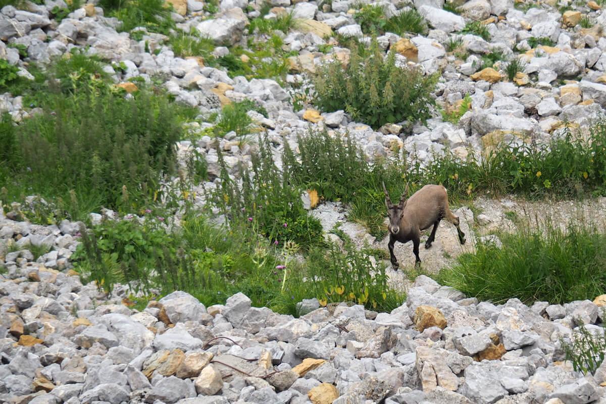 Mount Pilatus - Ibex Safari