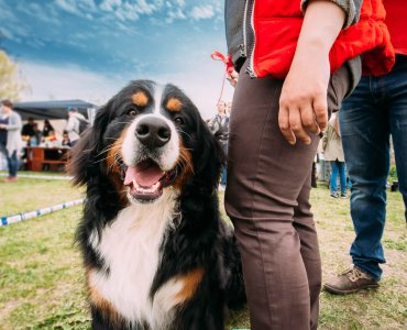 Greetings in Switzerland - Bernese Mountain Dog