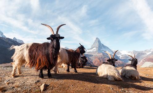 Matterhorn Stellisee - Valais Goats in Switzerland