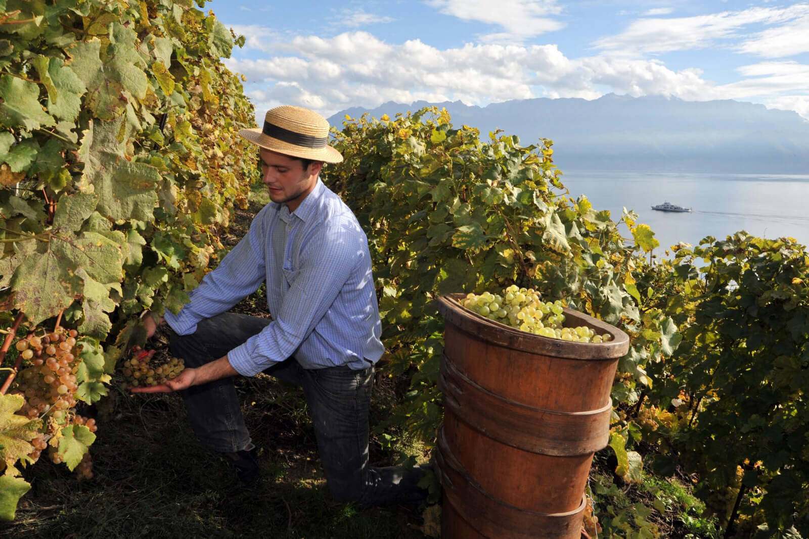 Wine Harvest in Lavaux