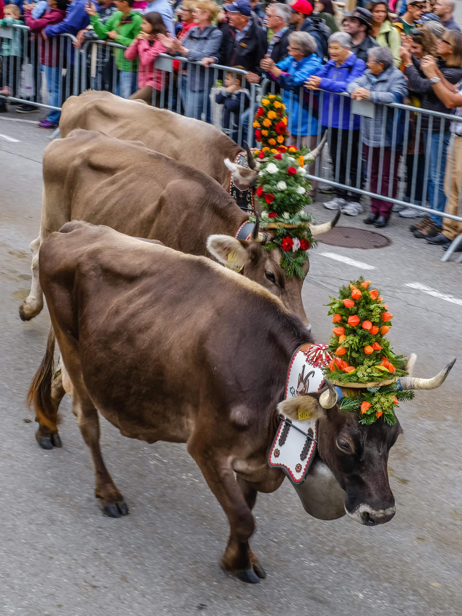 Alpabzug Alpine Cow Parade in Etivaz