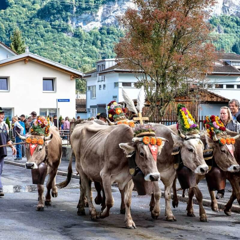 Alpabzug Alpine Cow Parade in Flims