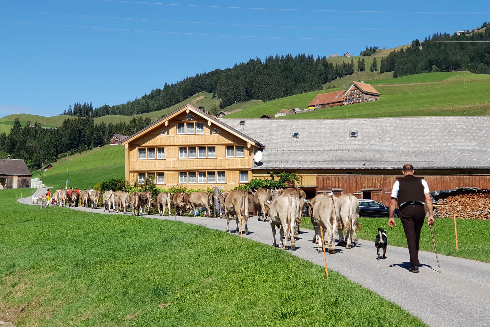 Alpabzug Alpine Cow Parade in Gonten