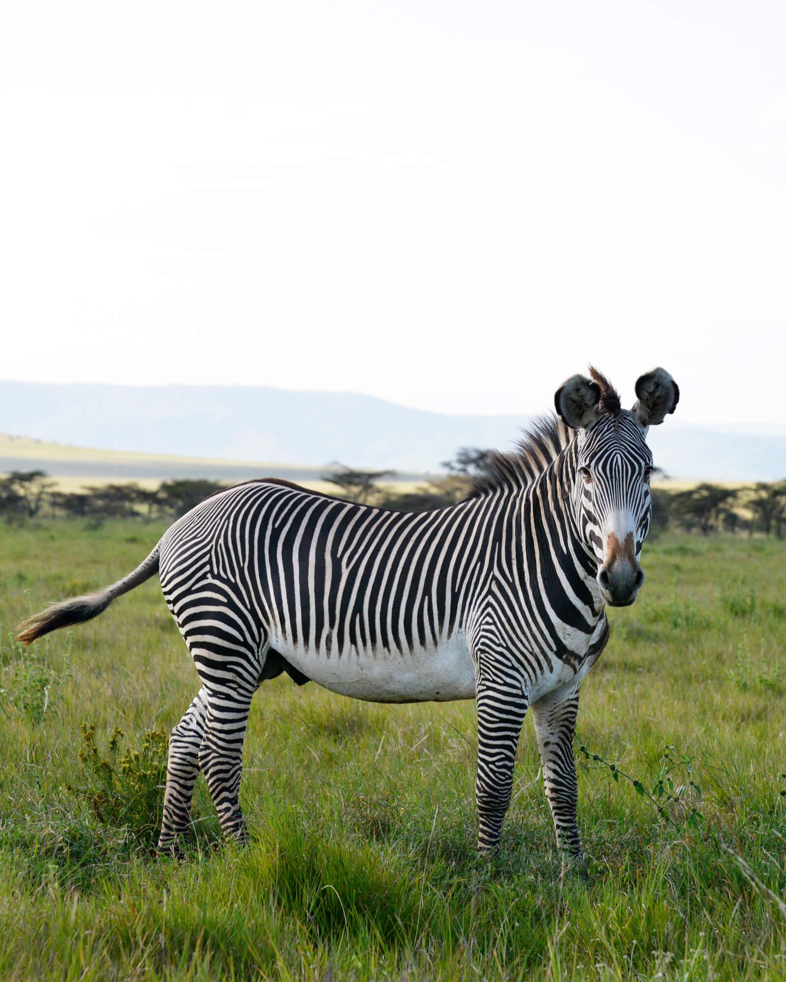 Lewa Wildlife Conservancy - Grevy Zebra