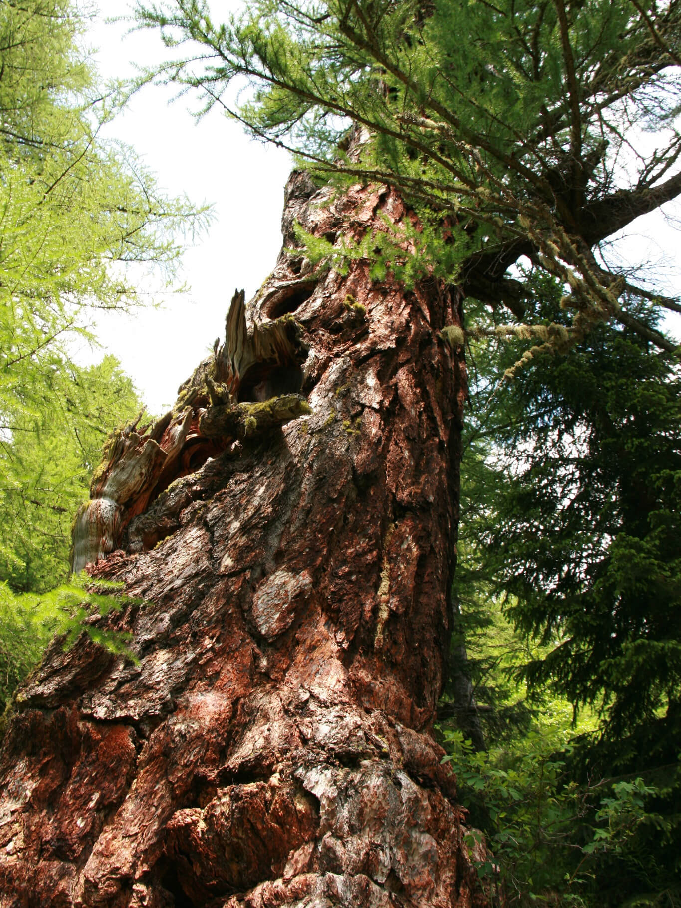 Ancient Larch Tree in Obergesteln, Valais