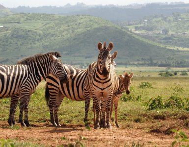 Lewa Wildlife Conservancy - Zebras