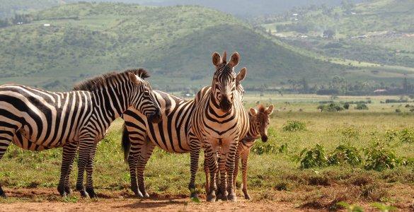 Lewa Wildlife Conservancy - Zebras