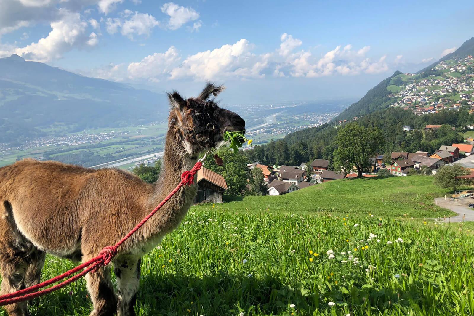 Llama Alpaca Trekking - Liechtenstein