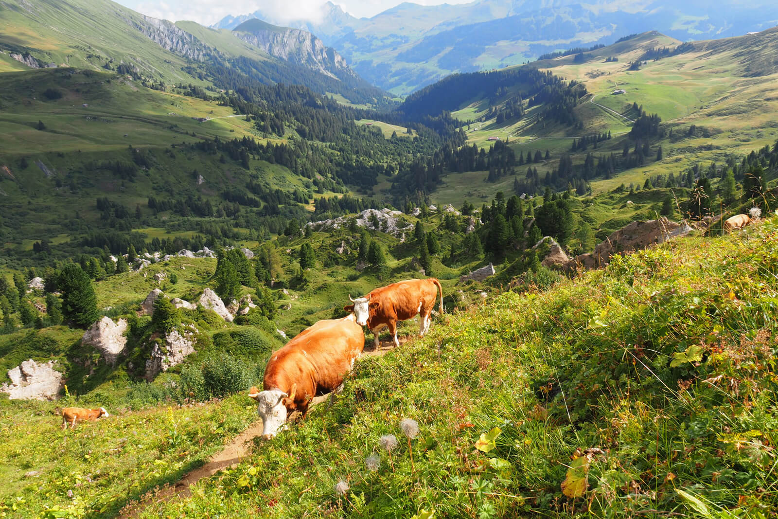 Cows along the Panoramic Hike to Iffigenalp in Lenk-Simmental