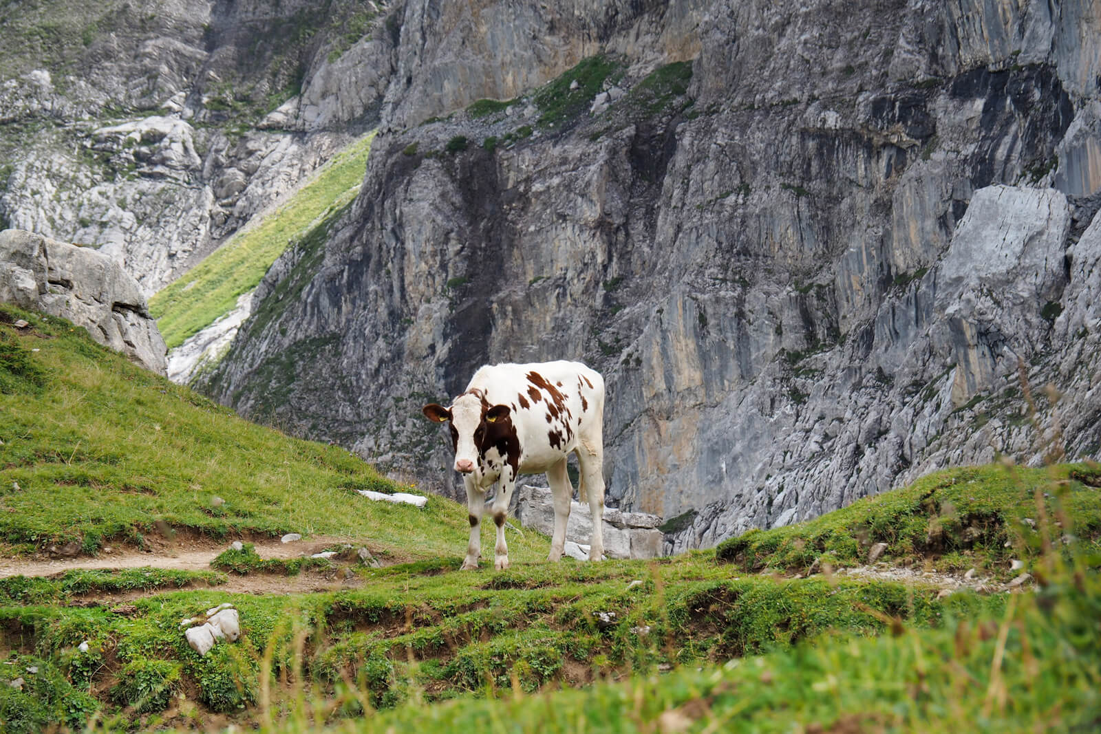 A Cow along the Panoramic Hike to Iffigenalp in Lenk-Simmental