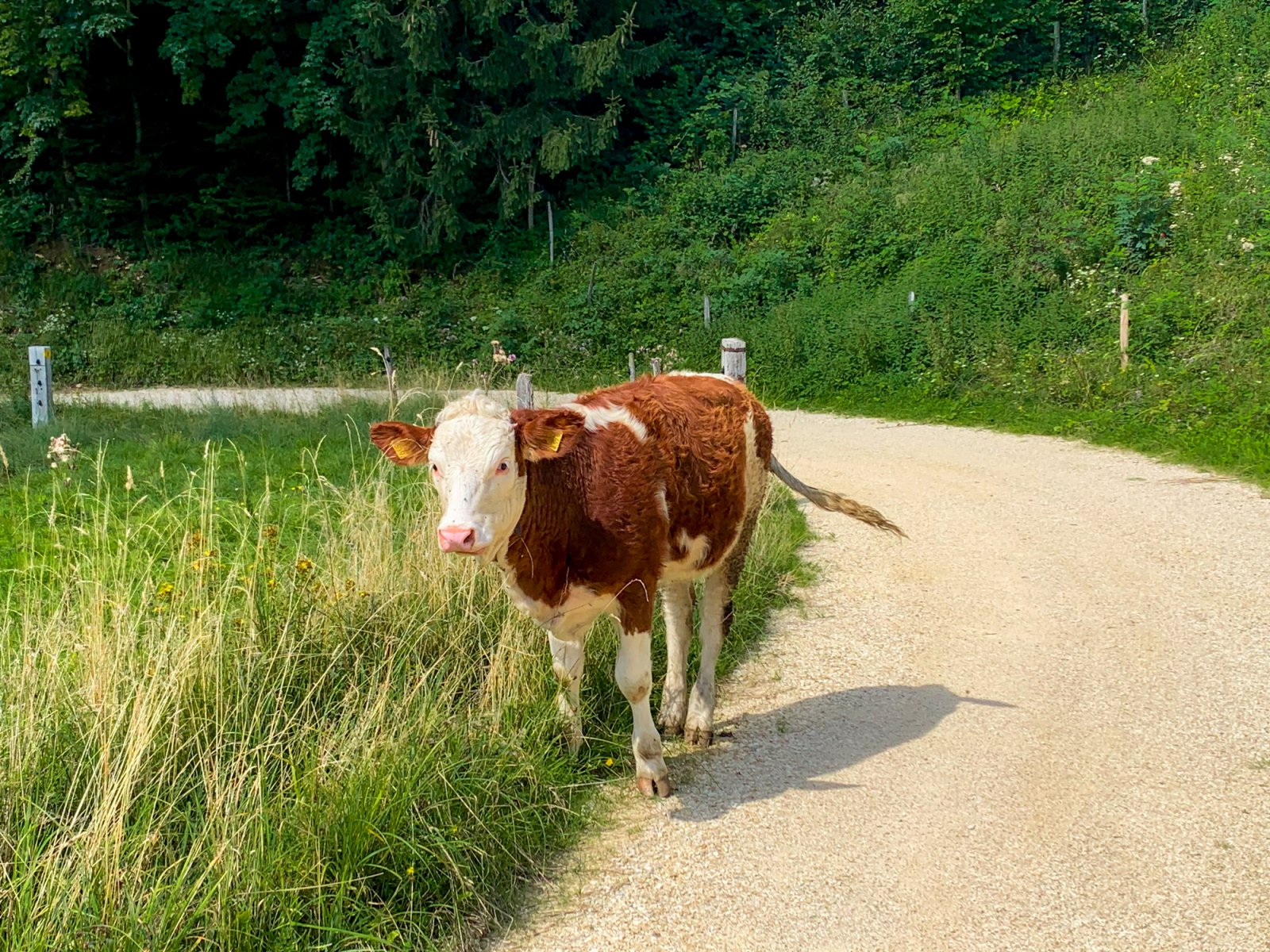 A cow in the Jura Countryside, Jura Switzerland